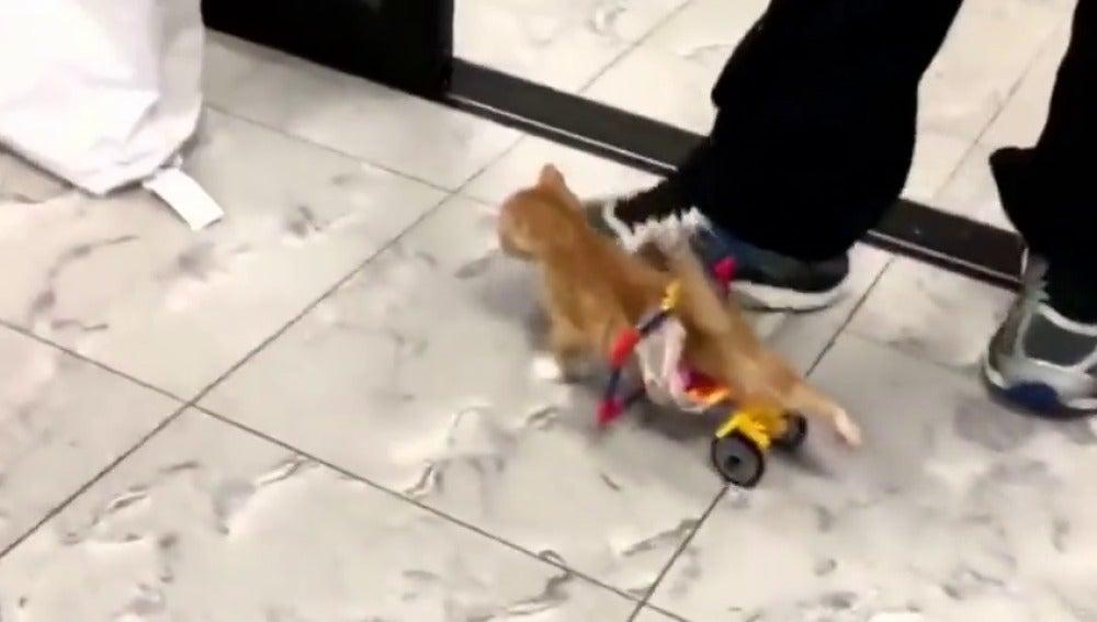 Frame 8.313532 de: Los trabajadores de un veterinario de Nueva York construyen una silla de ruedas con piezas de Lego para un gato minusválido