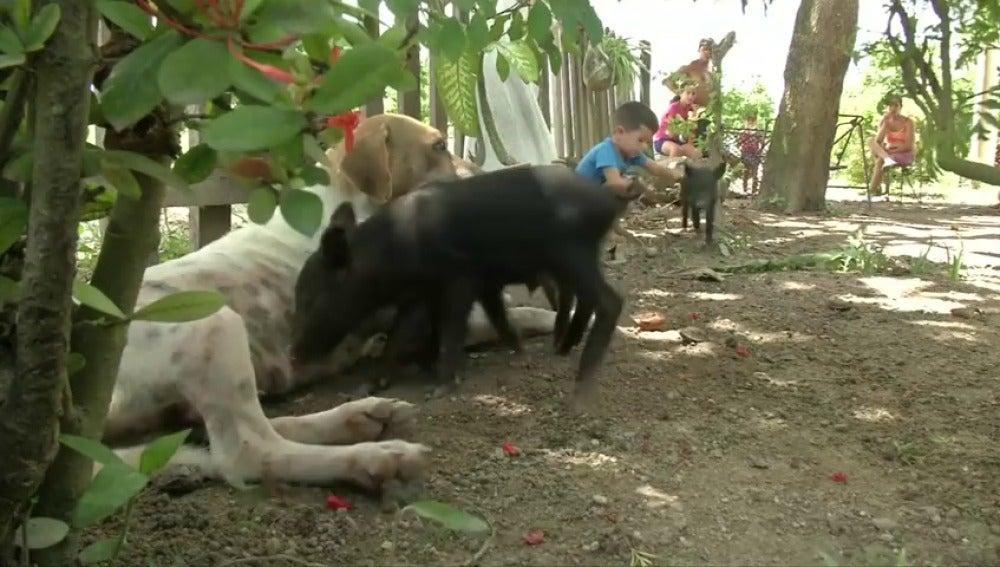 Una perra amamanta a cuatro lechones tras la muerte de la madre.