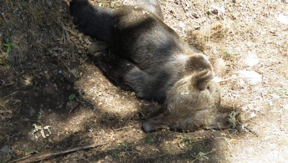 Un oso pardo hallado muerto