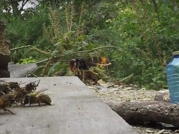 Momento del vídeo en el que la avispa asiática ataca a la colmena de abispas