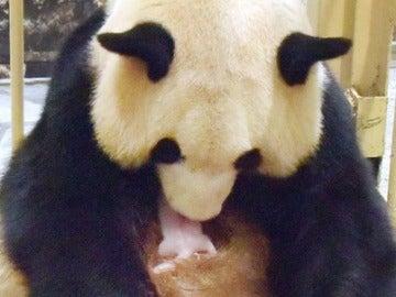 Rauhin y la nueva cría de panda gigante