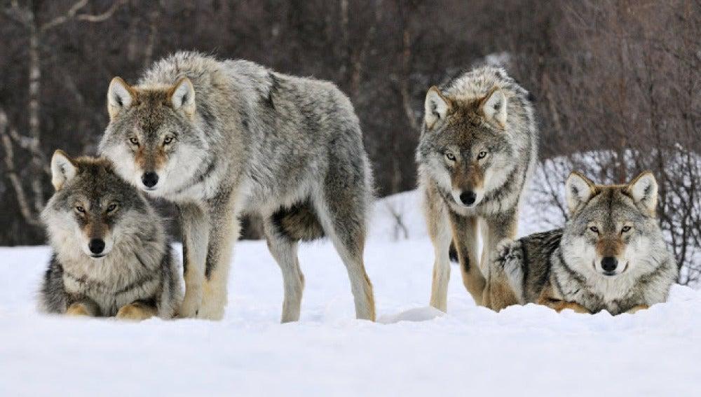 Lobos noruegos