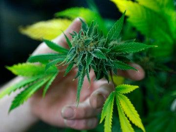 Imagen de archivo de una planta de Cannabis