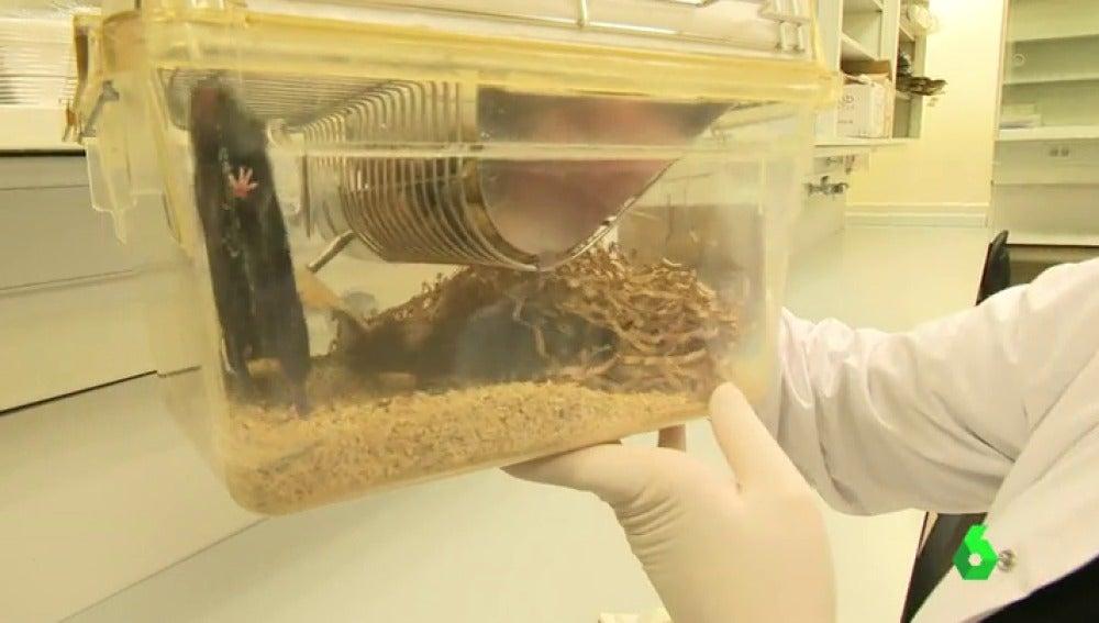 Frame 0.536983 de: Logran alargar la vida de unos ratones en un investigación clave para ralentizar la aparición de ciertos tipos de cáncer