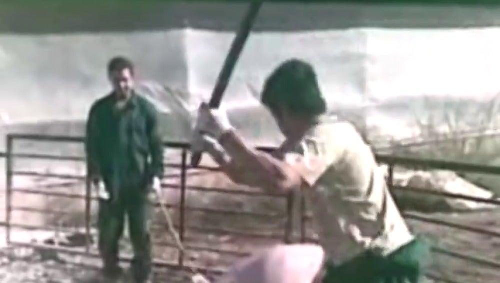 Frame 11.480302 de: Un año de cárcel por matar a cerdos a golpes y espadazos en una granja de Murcia