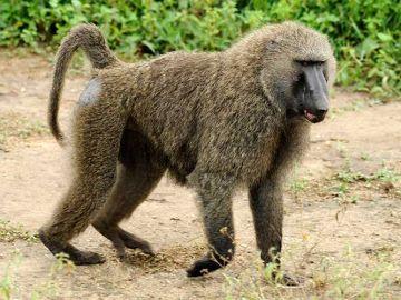 Imagen de un babuino
