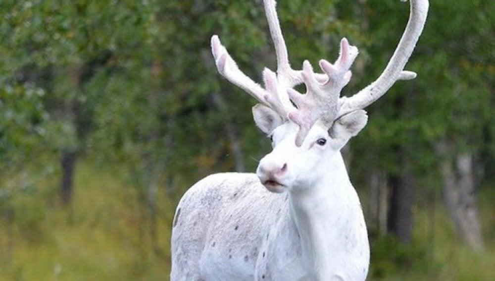 El reno blanco fotografiado