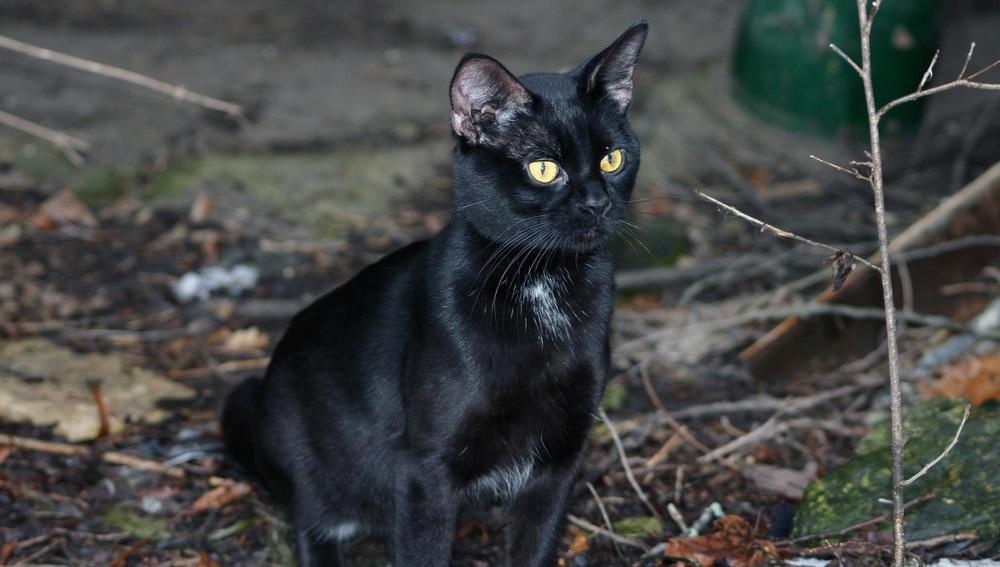 Gato negro al acecho