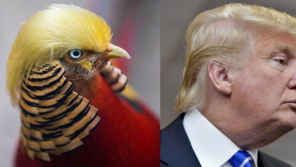 Imagen comparando al faisán con Donald Trump