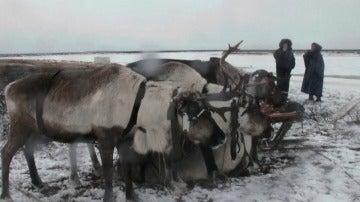 Renos de Yamal, Rusia