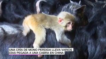 Frame 3.417086 de: Una cría de mono se une a un rebaño de cabras creyendo que una de ellas es su madre