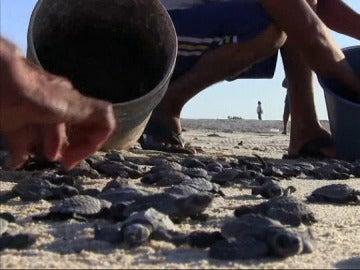 Momento en el que las tortugas marinas son liberadas