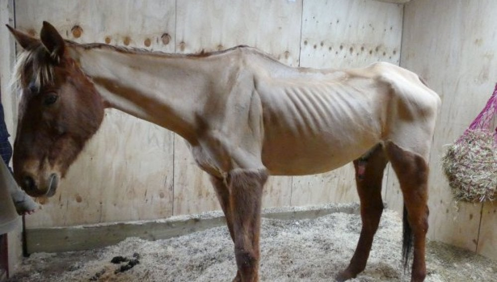 Resultado de imagen de caballo delgado