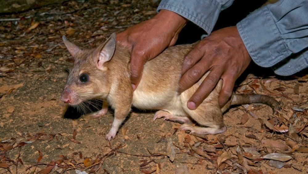 Los residentes del municipio dicen que las ratas crecen hasta tres pies de largo