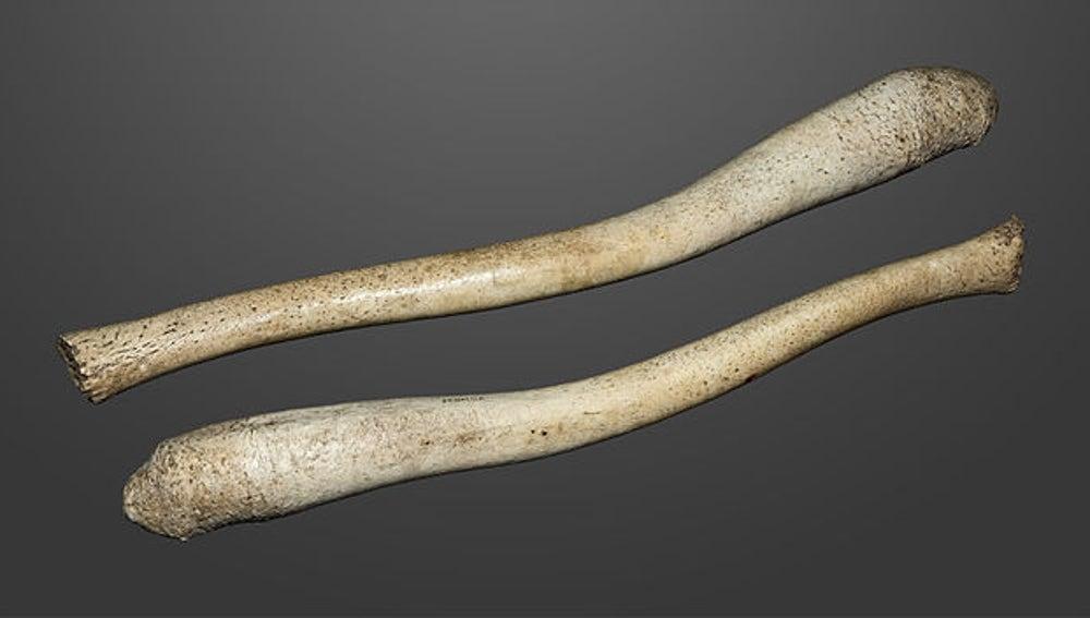 La longitud del báculo varía entre especies.