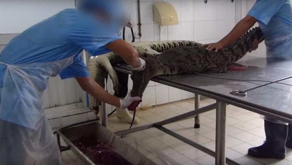 Dos trabajadores tratan de desollar a un cocodrilo