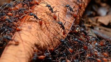 Hormigas venenosas