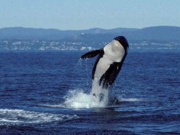 Muere Granny, la orca más longeva del mundo