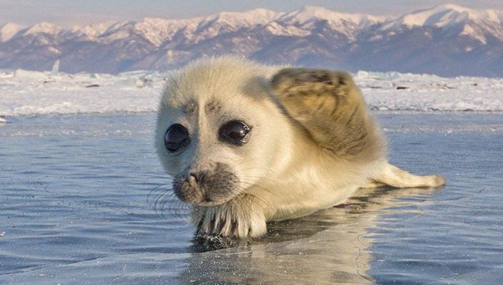 Una de las fotografías de la cría de foca que el fotógrafo ruso consiguió hacer tras tres años