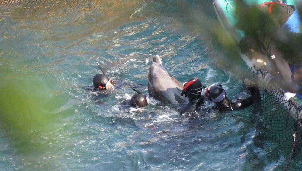 Captura de delfines en Japón