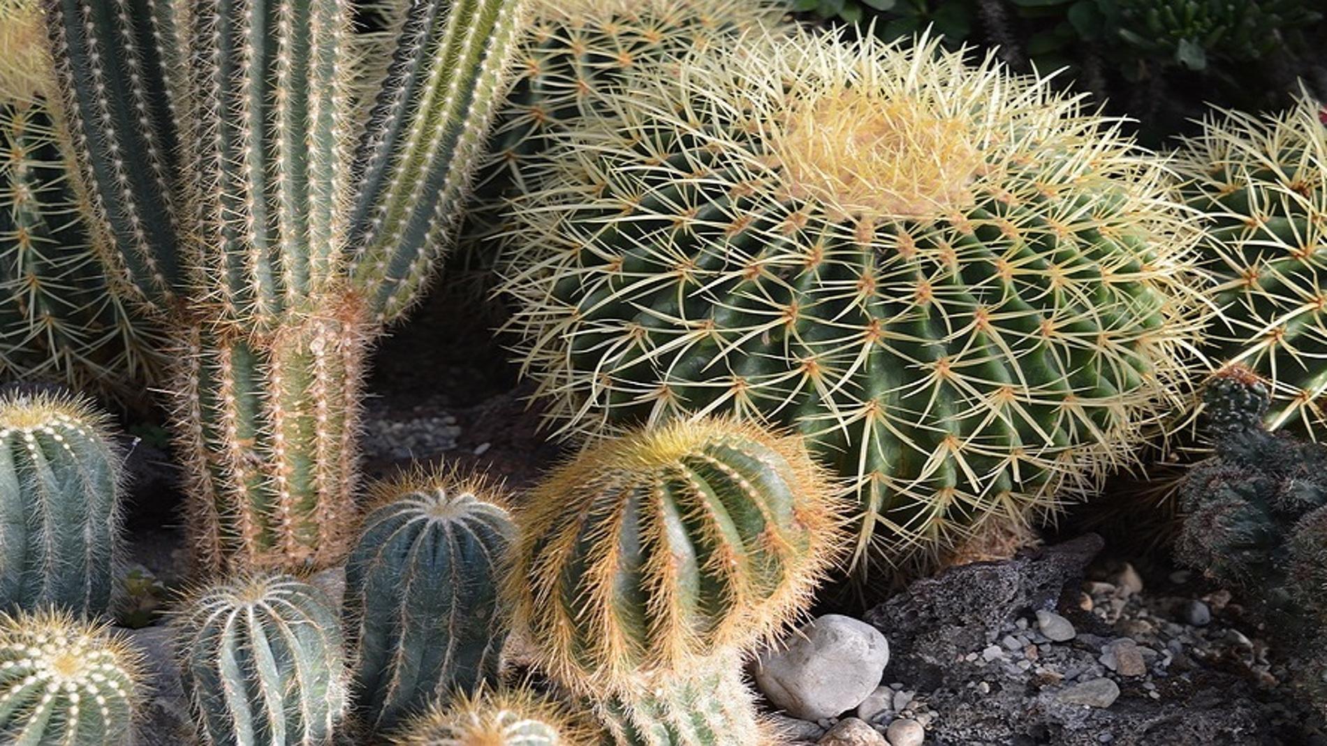 El mito de las espinas de los cactus