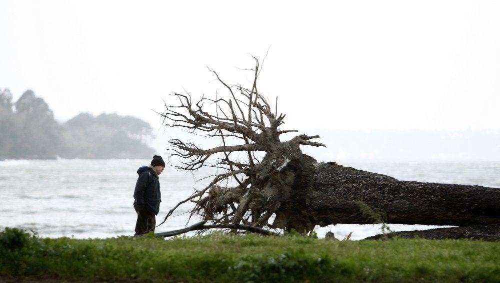 Un hombre observa la raíz de un árbol que el viento derribó la pasada noche en el pinar del concello coruñés de Cabanas
