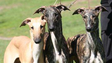 Tres perros galgos
