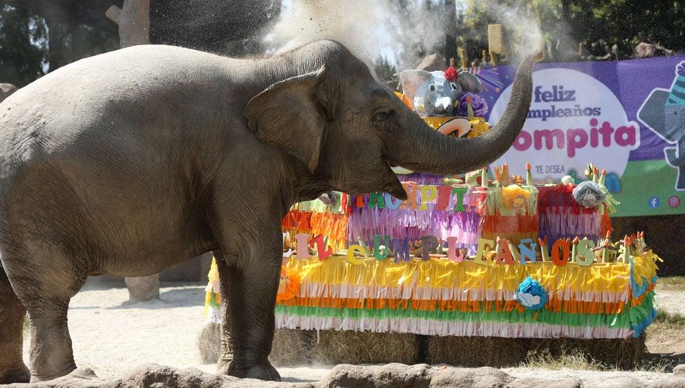 Trompita, la elefanta guatemalteca más famosa