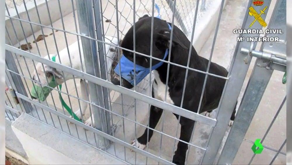 Frame 0.559298 de: Sacrifican a los cinco perros que supuestamente causaron la muerte a un hombre en Beniarbeig