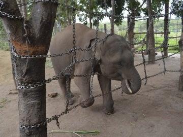 La deforestación arrincona a los últimos elefantes salvajes de Vietnam
