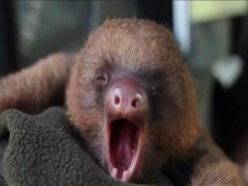 Los bebés perezoso también bostezan