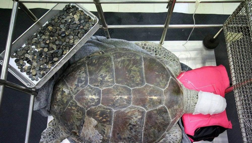 La tortuga Om Sin descansa tras la operación junto a las monedas