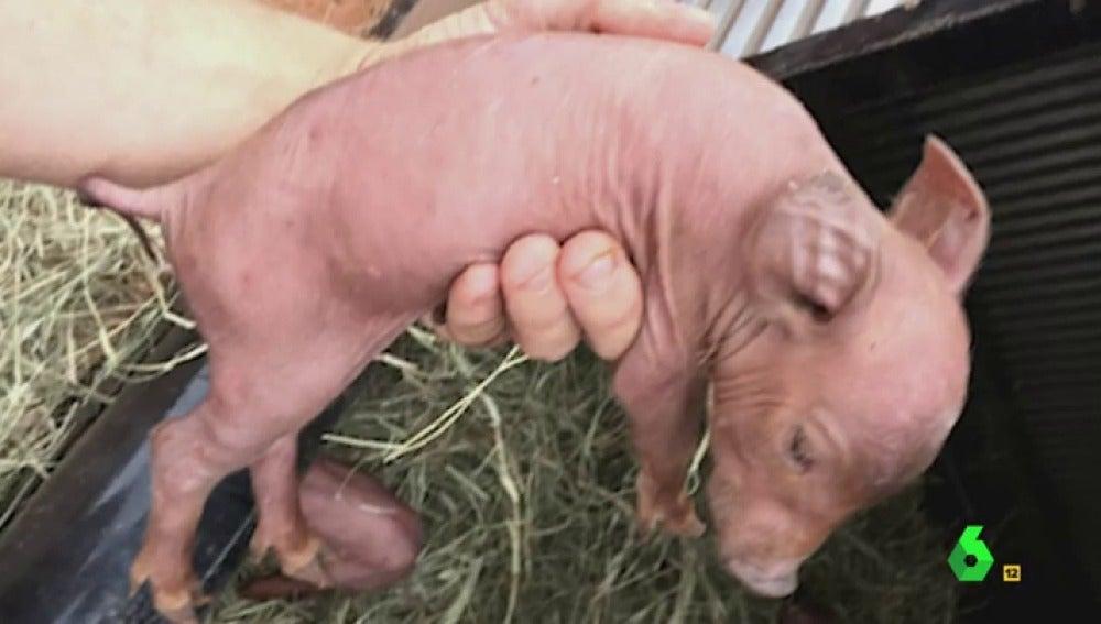 Frame 109.500121 de: cerdos