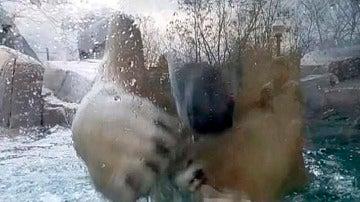 Un oso polar se da cabezazos contra su jaula de cristal del zoo