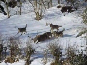 Frame 15.535688 de: Filman por primera vez a una manada de lobos ibéricos cazando