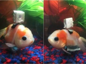 Un pez en 'silla de ruedas'