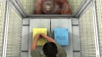 Los grandes simios ayudan a los humanos a no equivocarse