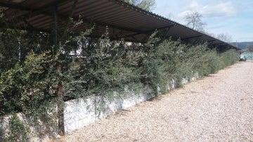 Identifican dos hongos responsables de la seca de ramas en el olivar