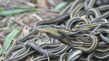 La obsesion por el sexo mata a los machos de estas serpientes