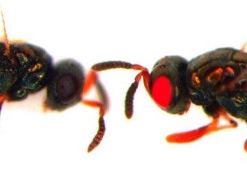 Nuevas avispas mutantes de ojos rojos