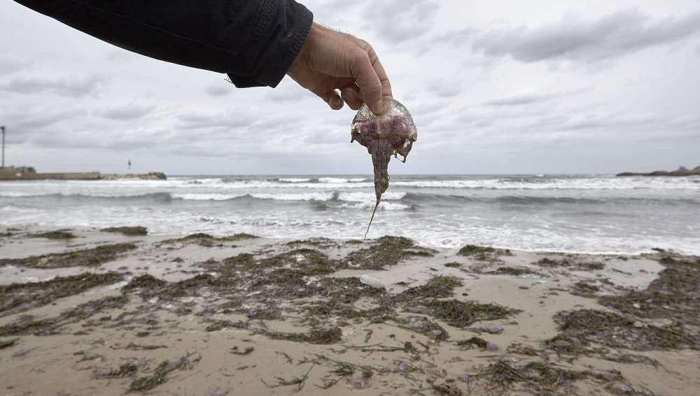 Medusas encontradas en las playas de Jávea