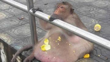El mono en el mercado turístico en el que vivía