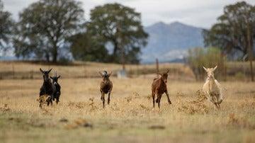 Cabras en libertad
