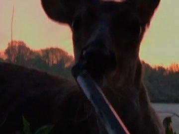 Un ciervo lame un rifle