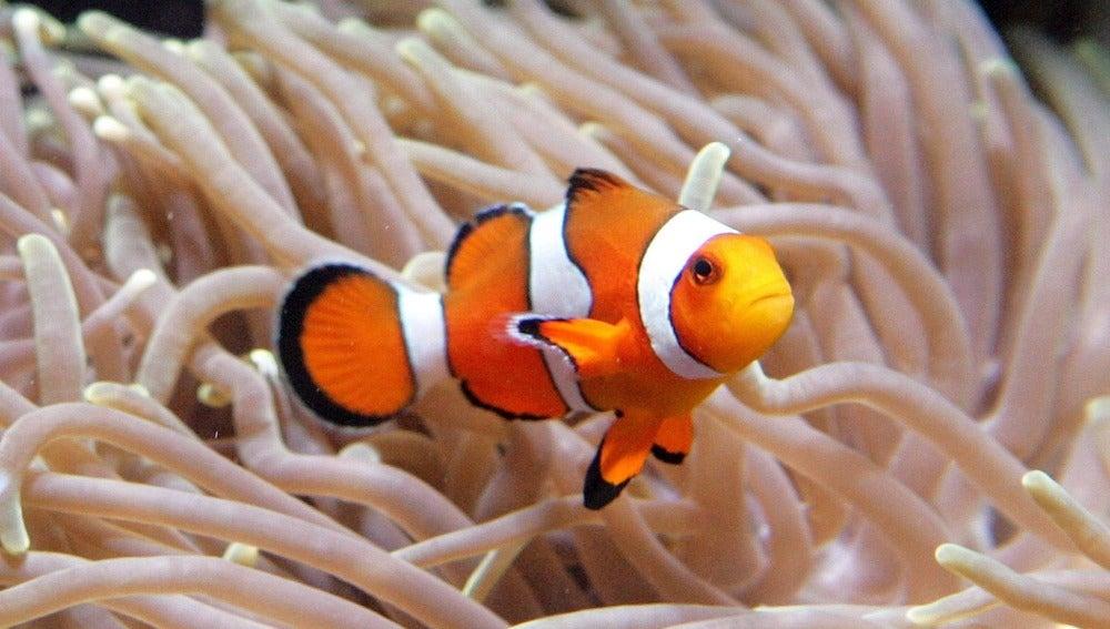 Un pez payaso