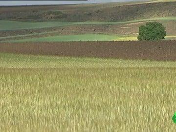 Frame 7.088814 de: La sequía sigue afectando a la agricultura: se ha perdido entre el 80% y el 100% de la cosecha del cereal