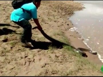 Rescatan a una anaconda de cuatro metros