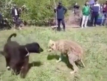 Momento en el que uno de los perros ataca al lobo atrapado