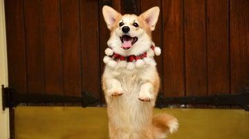 Un perro sosteniéndose a dos patas
