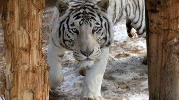 Imagen de archivo de un tigre albino